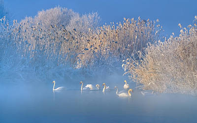 Swan Wall Art - Photograph - Blue Swan Lake by Hua Zhu