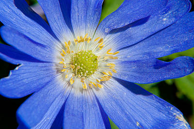 Photograph - Blue Swan River Daisy by Tikvah's Hope