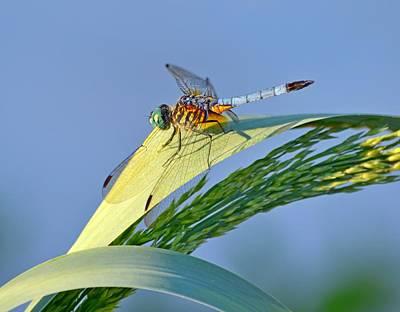 Photograph - Blue Tail Dragonfly On Navarre Beach by Jeff at JSJ Photography