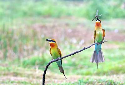 Two Tailed Photograph - Blue-tailed Bee-eater Courtship Gift by K Jayaram