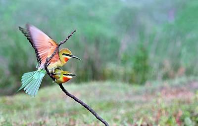 Two Tailed Photograph - Blue-tailed Bee-eaters Mating by K Jayaram