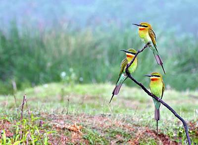 Blue-tailed Bee-eaters Perching Art Print