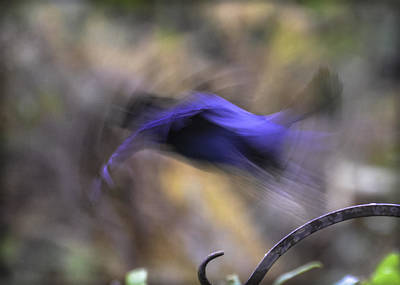 Photograph - Blue Taking Flight by Ronda Broatch