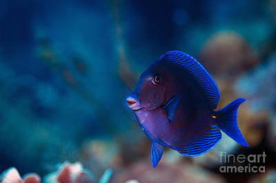 Photograph - Blue Tang by JT Lewis