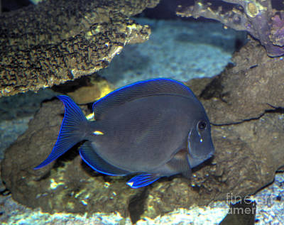 Photograph - Blue Tang by Steven Parker