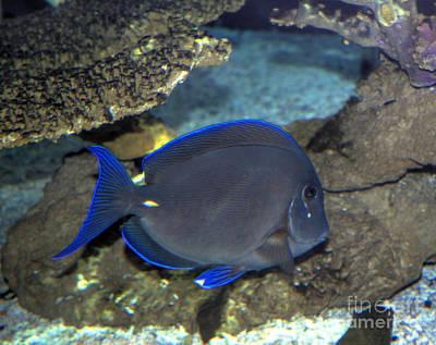 Photograph - Blue Tang by Steven Parker
