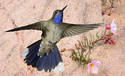 Photograph - Blue-throated Hummingbird And Pale Evening Primrose by Gregory Scott