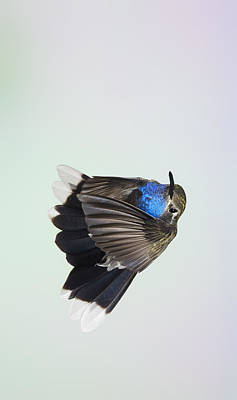 Photograph - Blue-throated Hummingbird - Wings  Forward by Gregory Scott