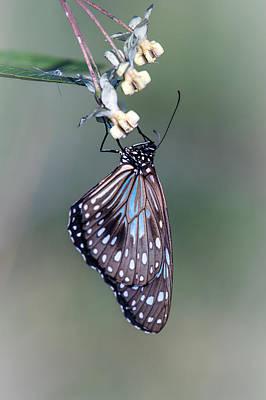 Photograph - Blue Tiger 2 by Brad Grove