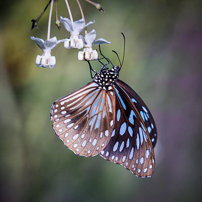 Photograph - Blue Tiger 3 by Brad Grove