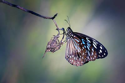Photograph - Blue Tiger 4 by Brad Grove