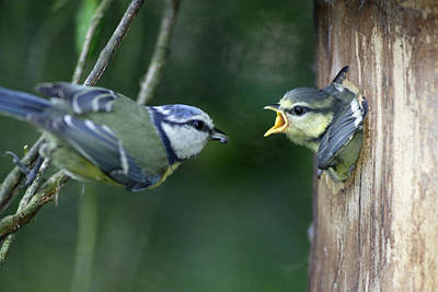 Hungry Chicks Photograph - Blue Tit And Chick by Duncan Usher