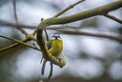 Photograph - Blue Tit by Andrew Lalchan