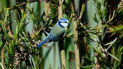 Photograph - Blue Tit by Barbara Walsh