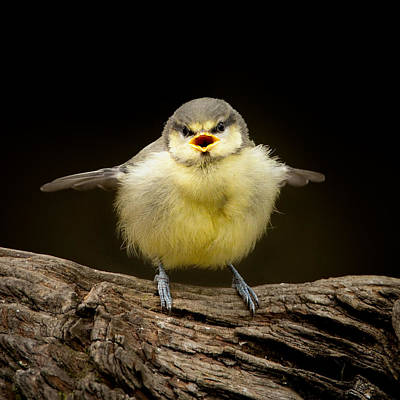 Blue Tit Fledgling Begging Art Print by Izzy Standbridge