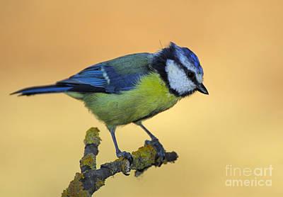Blue Tit Photograph - Blue Tit by Guido Montanes Castillo