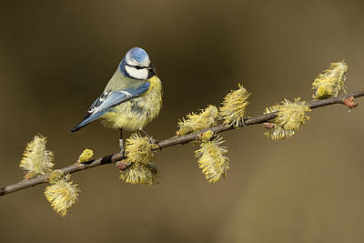 Blue Tit Photograph - Blue Tit Netherlands by Marianne Brouwer