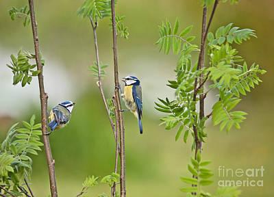 Blue Tit Photograph - Blue Tit Pair by Liz Leyden