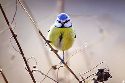 Blue Tit Art Print by Science Photo Library