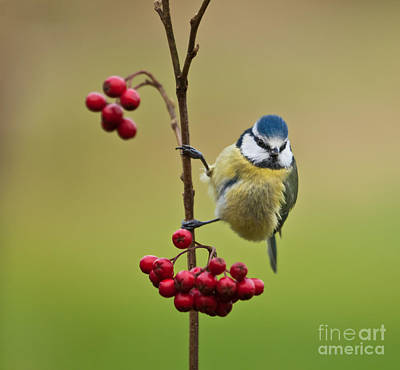Art Print featuring the photograph Blue Tit With Hawthorn Berries by Liz Leyden