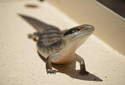 Photograph - Blue Tongue Lizard 1 by Xueling Zou