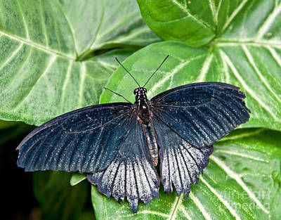 Photograph - Blue Topped Butterfly - Male Scarlet Swallowtail by Valerie Garner
