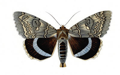 Blue Underwing Moth Art Print by Collection Abecasis