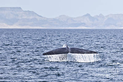 Photograph - Blue Whale Balaenoptera Musculus Fluking Sea Of Cortez by Liz Leyden