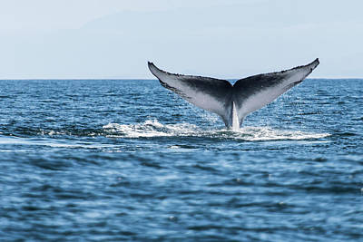 Blue Photograph - Blue Whale Balaenoptera Musculus Tail by Michael Mike L. Baird Flickr.bairdphotos.com