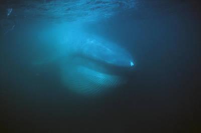 Blue Whale Filter Feeding Sea Of Cortez Art Print