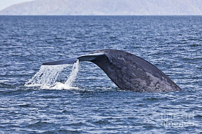 Mammal Photograph - Blue Whale Fluking by Liz Leyden