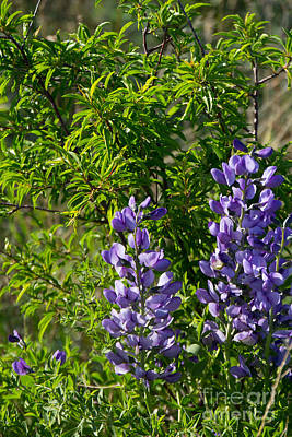 Photograph - Blue Wild Indigo by Jim McCain