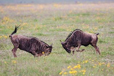 White Beard Photograph - Blue Wildebeest Connochaetes Taurinus by Photostock-israel