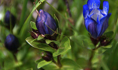 Photograph - Blue Wildflower 4 by Robert Lozen