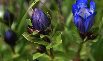 Photograph - Blue Wildflower 4 by Robert Lozen