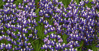 Photograph - Blue Wildflowers by Robert Lozen
