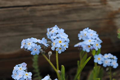 Photograph - Blue Wildflowers by Robert  Moss