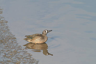 Bob Wade Photograph - Blue-winged Teal by Bob and Jan Shriner