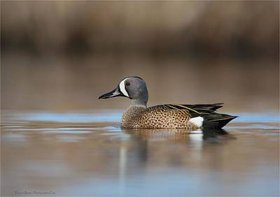 Photograph - Blue Winged Teal by Daniel Behm