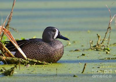Photograph - Blue Winged Teal Duck by Kathy Baccari