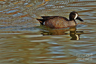 Photograph - Blue-winged Teal by Elizabeth Winter