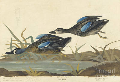 Drawing - Blue-winged Teal by Celestial Images