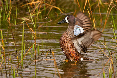 Photograph - Blue-winged Teal by Ram Vasudev