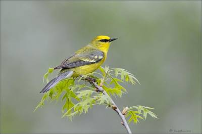 Photograph - Blue Winged Warbler by Daniel Behm