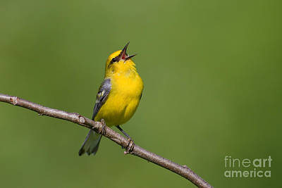 Photograph - Blue-winged Warbler by Jim Zipp