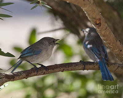 Blue Wrens 1 Art Print