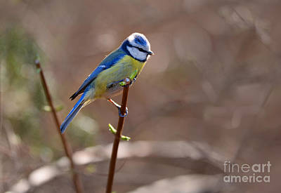 Photograph - Blue Yellow Parus Sitting On The Branch by Jaroslaw Blaminsky
