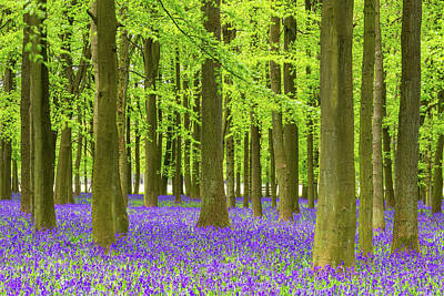Photograph - Bluebell And Beech Tree Forest by Chrishepburn