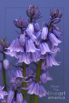 Bluebell Days Art Print