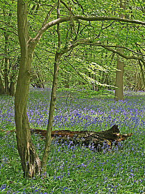 Bluebell Wood 1 Art Print by Gill Billington